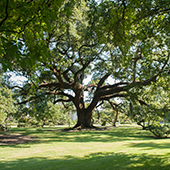 Hotel and Spa review of Houmas House Plantation and Gardens, Louisiana, USA: One of the mighty live oaks on the estate